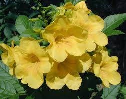 south texas native plants esperanza a nice hope for summer blooms