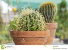 background cacti nature clay cactus pot flower plant