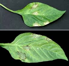 Methods Of Controlling Plant Diseases - viral diseases of plants ohioline