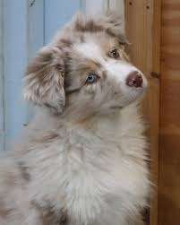 australian shepherd crufts 2015 australian shepherd breeder u0026 puppies for sale in ct somewhere