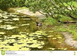 duck in the pond in japanese style garden stock photo image