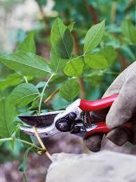 how to prune shrubs hgtv