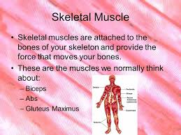 Human Body Muscles Images Ch Notes The Muscular System There Are About 600 Muscles In The