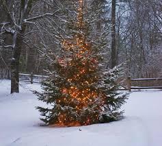 christmas tree farms fresh new england