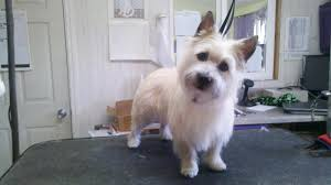 cairn hair cuts cairn terrier haircuts fade haircut