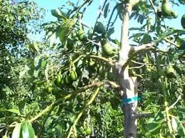 hass avocado trees