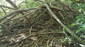 some awesome trees picture of manoa falls honolulu tripadvisor