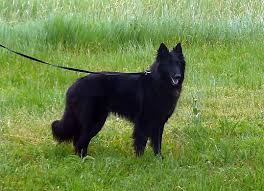 belgian sheepdog groenendael breeder batman belgian sheepdog puppy for sale euro puppy