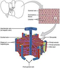 Anatomy And Physiology Of Speech Liver Wikipedia