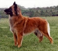 belgian sheepdog alberta sunset and ko u0027s final frontier pedigree