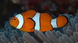 Finding Nemo Light Fish What Types Of Fish Are In Finding Nemo Quora