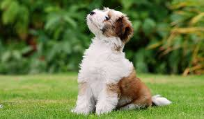 american eskimo dog short hair tibetan terrier dog breed information