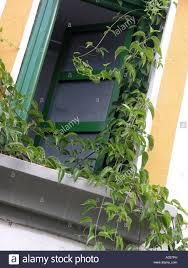 window with climbing plant draped around frame stock photo