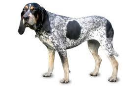 westminster bluetick coonhound 2016 everything about your american english coonhound luv my dogs