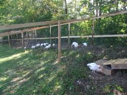 Backyard Turkeys Raising Turkeys Part 2 My How They Grow Community Chickens