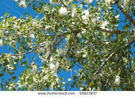 Cottonwood Tree Flowers - cottonwood tree stock images royalty free images u0026 vectors