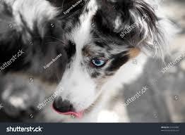 australian shepherd with blue eyes australian shepherd dog blue eyes red stock photo 27410680