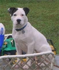 american pitbull terrier gray american pit bull terrier photos pictures puppies american pit