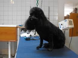 toilettage de l affenpinscher art canin salon de toilettage à cambrai