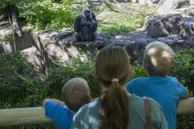 Botanical Garden Cincinnati Cincinnati Zoo Reopens Gorilla Exhibit With New Barrier Ny Daily