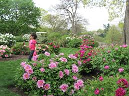 where to see peonies in bloom crickethillgarden