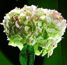 Bulk Hydrangeas 46 Best Bicolor Wedding Flowers Images On Pinterest Flowers