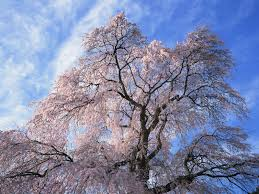 beautiful japanese scenery wallpaper cherry blossom tree 1600 1200