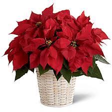 christmas plants christmas plants delivery sendflowers