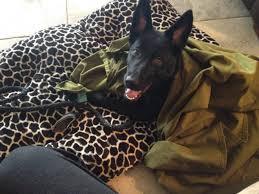 belgian shepherd ottawa how can you tell if gsd mixed with malinois german shepherd dog
