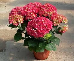 potare le ortensie in vaso piante da vaso hydrangea ortensia hydrangea anomala o altissima