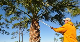 pruning puts fla palm trees in peril