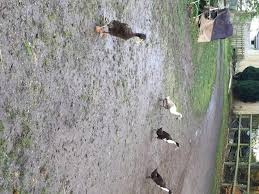 indian runner ducks local classifieds buy and sell in somerset