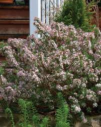 Fragrant Flowers For Garden - fragrant plants for pathways fine gardening