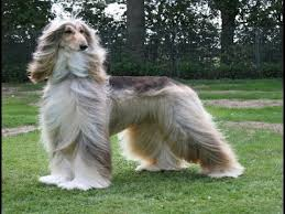 afghan hound snood afghan hound dog breed aggressive dog or pet afghan hound