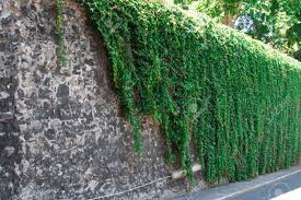 climbing ivy plants images