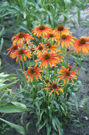 octoraro native plant nursery 21 best butterfly coneflowers images on pinterest butterfly