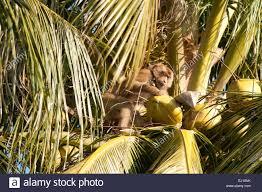 koh samui thailand monkey stock photos u0026 koh samui thailand monkey