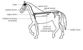 Ans Anatomy And Physiology Anatomy And Physiology Of Animals Nervous System Wikibooks Open