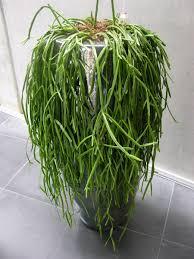 plantes bureau achat de plantes de bureau