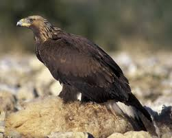 golden eagle audubon field guide