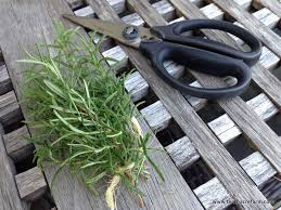 the secret to keeping rosemary alive indoors tenth acre farm