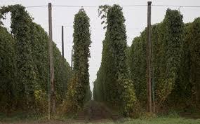 Hops On Trellis Beersci Want To Wet Hop Your Beer Grow Your Own Fresh Hops