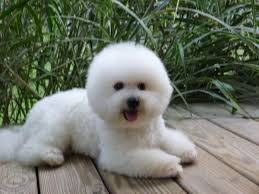 bichon frise years akc bichon frise puppies adorable champion sired lines in