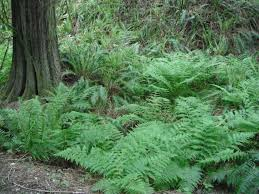 victorian native plants fern gardens u0026 stumperies habitat horticulture pnw