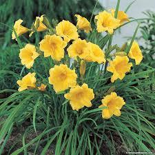 stella d oro daylily hemerocallis american