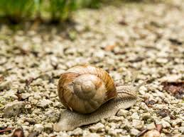 customs finds 7 pounds of live snails in box labeled u0027shoes and
