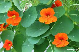 nasturtium flowers nasturtium flower tropaeolum how to grow and care plantopedia