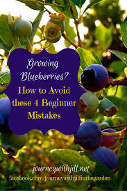 best 25 blueberry bushes ideas only on pinterest planting