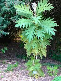 Bocconia Arborea San Francisco Botanical Garden Bocconia U2026 Flickr
