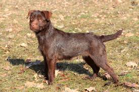 Do All Short Haired Dogs Shed by Patterdale Terrier Dog Breed Information Buying Advice Photos